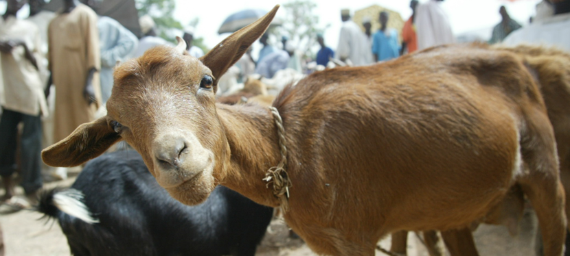 Better data on livestock disease may unlock Nigeria's dairy dilemma
