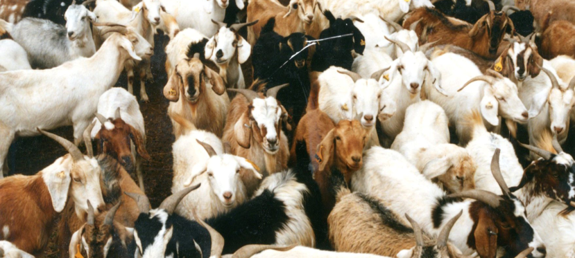 What livestock and where? Q&A with Timothy Robinson on Gridded Livestock of the World 3.0