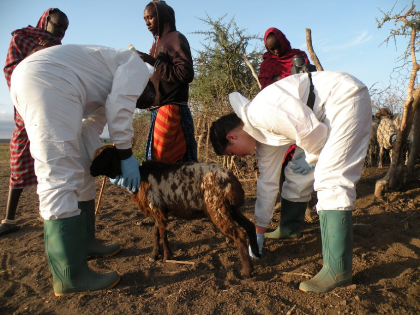 New study uncovers source of mystery neurological disease devastating Tanzanian sheep andgoats